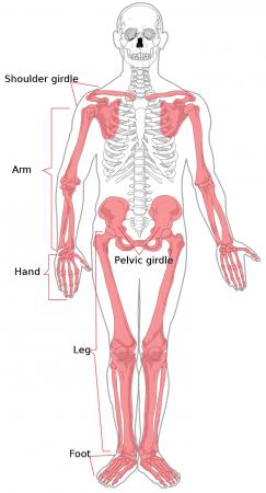 Estructura del esqueleto apendicular