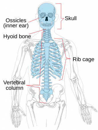 Estructura del esqueleto axial