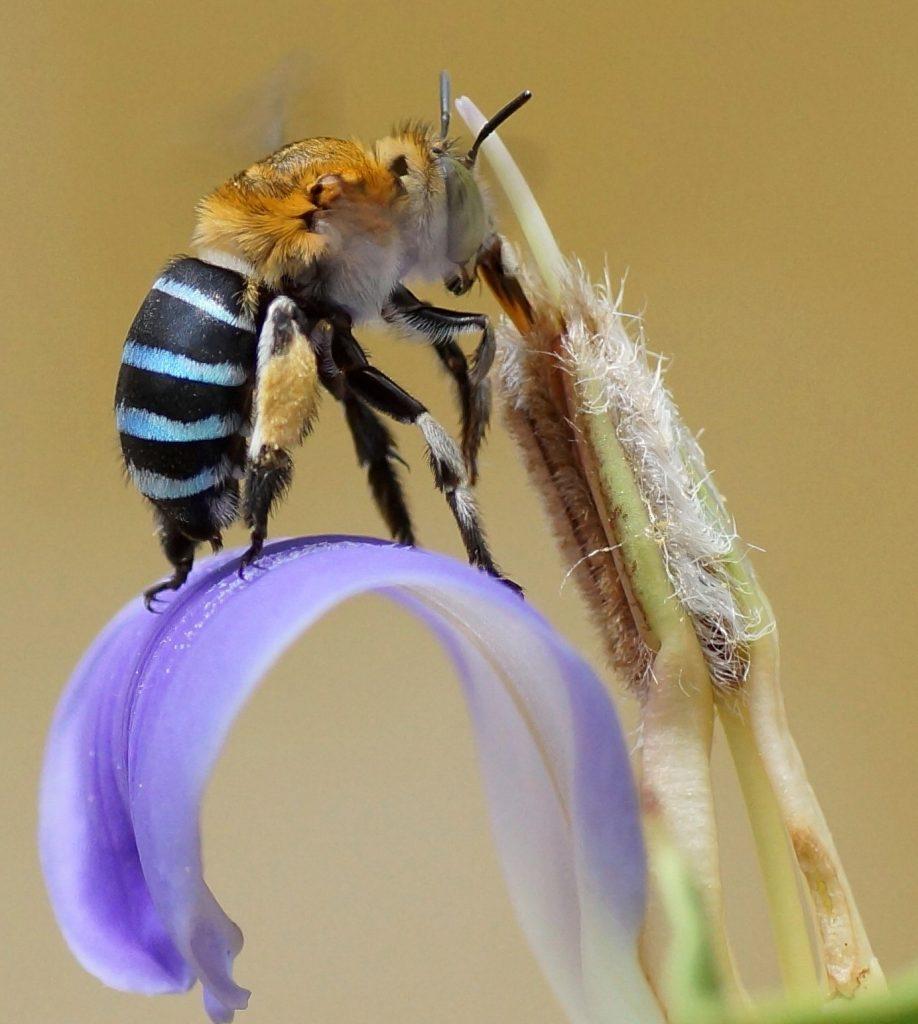 Coevolución en abejas de lengua larga y flores de tubo largo