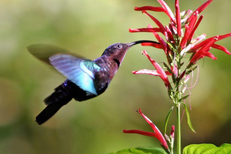 Colibrí y plantas: la ornitofilia es un ejemplo de coevolución