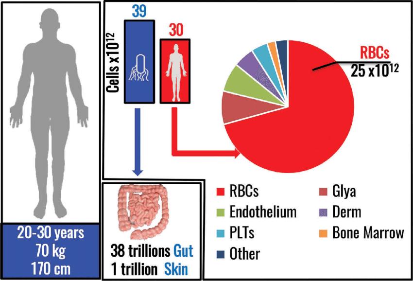 Número de células en el cuepro humano por tipos